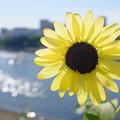 写真: しながわ花海道のひまわり
