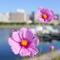 写真: しながわ花海道のコスモス