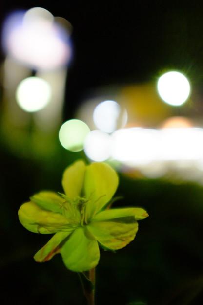 写真: 待宵草