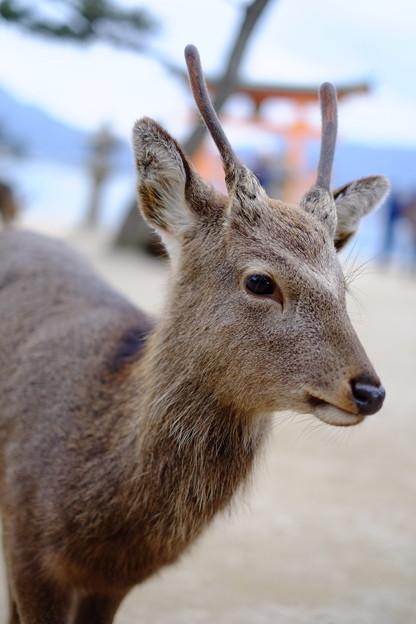 Photos: 宮島の鹿
