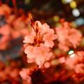Photos: 目黒川の夜桜