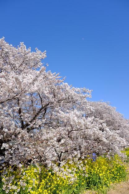 熊谷桜堤にて