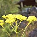 盆花(オミナエシ)
