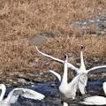 白鳥の乱舞