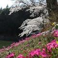 Iつつみの桜