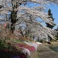Photos: 堤の桜