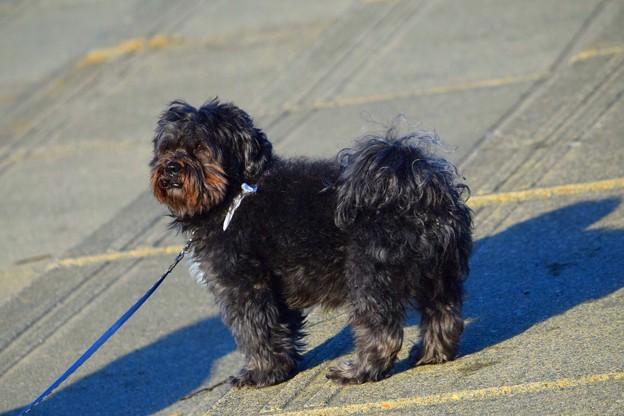 お散歩ワンコ@湘南・鵠沼海岸 #湘南 #藤沢 #海 #波 #surfing #wave #mysky #animal #dog #犬