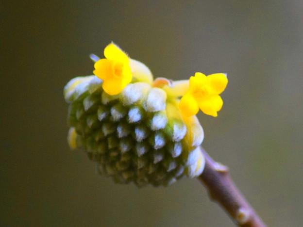 開花した報国寺の三椏 #鎌倉 #kamakura #temple #寺 #mysky #花 #flower