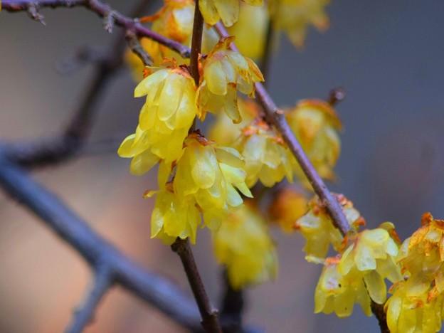 報国寺の蝋梅 #鎌倉 #kamakura #temple #寺 #mysky #花 #flower