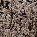 満開の白梅@長寿寺 #湘南 #鎌倉 #kamakura #寺 #temple #花 #flower