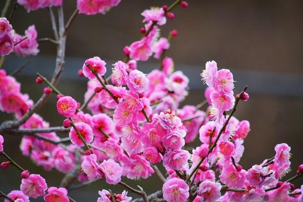 長寿寺の紅梅 #湘南 #鎌倉 #kamakura #寺 #temple #花 #flower