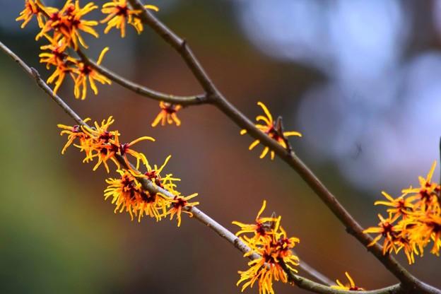 万作@浄智寺 #湘南 #鎌倉 #kamakura #寺 #temple #花 #flower