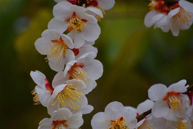 浄智寺の白梅 #湘南 #鎌倉 #kamakura #寺 #temple #花 #flower