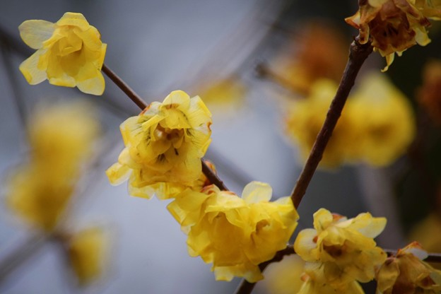 浄智寺の蝋梅 #湘南 #鎌倉 #kamakura #寺 #temple #花 #flower