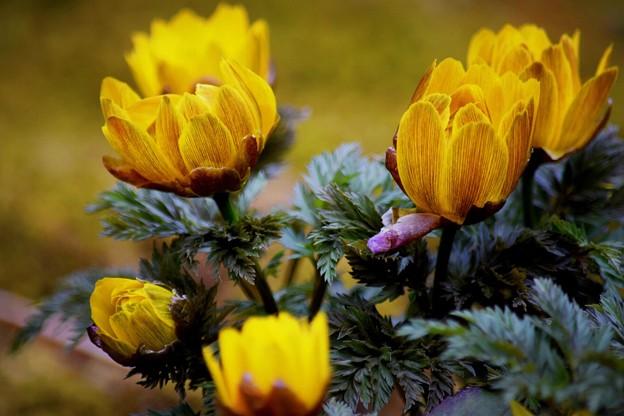 福寿草@浄智寺 #湘南 #鎌倉 #kamakura #寺 #temple #花 #flower
