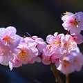 東慶寺の梅 #湘南 #鎌倉 #kamakura #寺 #temple #花 #flower