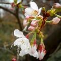 開花した染井吉野 #湘南 #鎌倉 #kamakura #mysky #寺 #temple #花 #flower #桜 #cherryblossoms