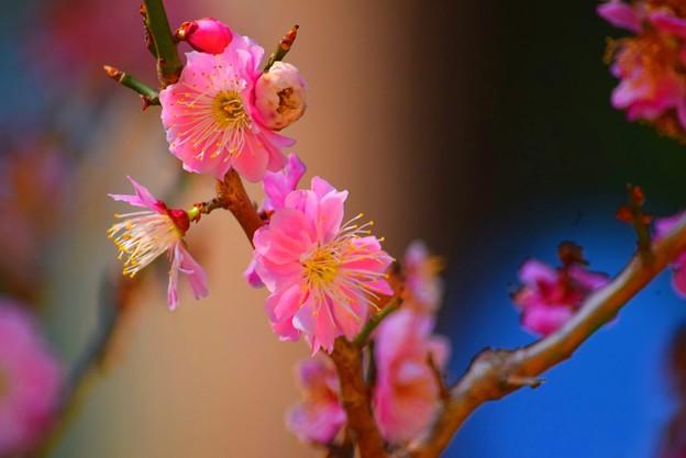 円覚寺の紅梅 #湘南 #鎌倉 #kamakura #mysky #寺 #temple #花 #flower #梅