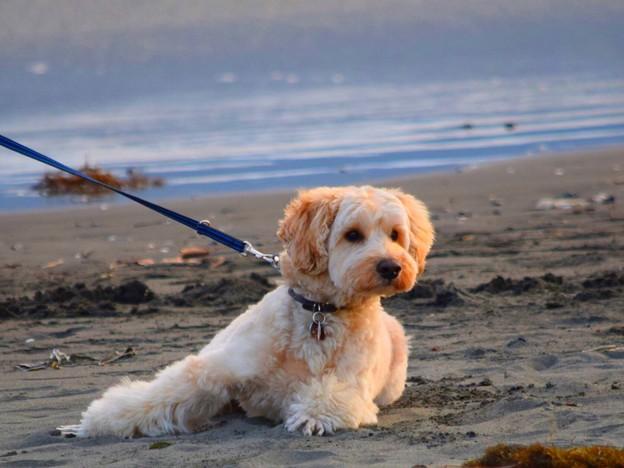 お散歩ワンコ@湘南・鵠沼海岸 #湘南 #藤沢 #海 #波 #wave #surfing #dog #animal #犬