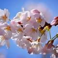 高徳院の染井吉野 #鎌倉 #湘南 #kamakura #寺 #temple #花 #flower #桜