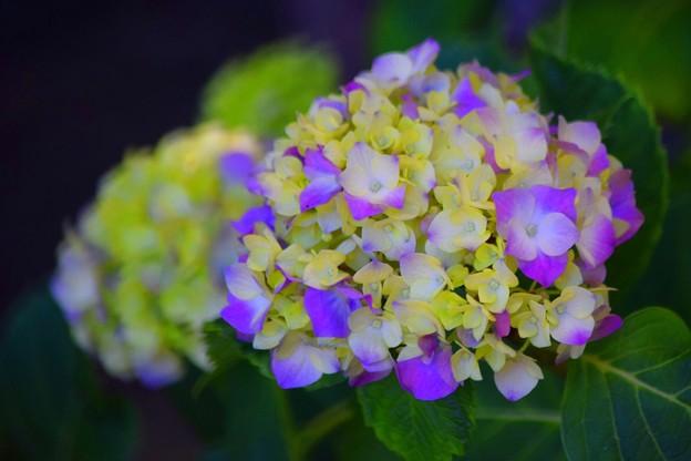 開花した光明寺の紫陽花 #湘南 #鎌倉 #kamakura #寺 #花 #flower #紫陽花