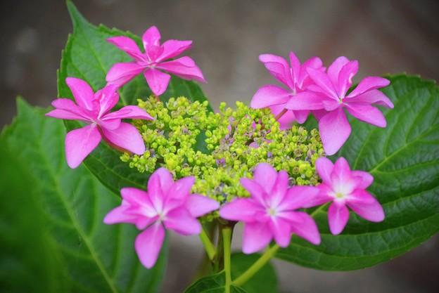 写真: 額紫陽花@湘南・鵠沼海岸 #湘南 #藤沢 #花 #flower #アジサイ