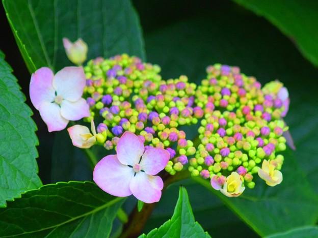 湘南・鵠沼海岸の額紫陽花 #湘南 #藤沢 #花 #flower #アジサイ