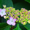 写真: 湘南・鵠沼海岸の額紫陽花 #湘南 #藤沢 #花 #flower #アジサイ