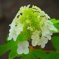 写真: 柏葉紫陽花@湘南・鵠沼海岸 #湘南 #藤沢 #花 #flower #アジサイ