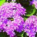 写真: 紫陽花・長谷の祈り #鎌倉 #湘南 #kamakura #寺 #temple #長谷寺 #花 #flower #紫陽花
