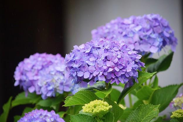 円覚寺の紫陽花 #鎌倉 #kamakura #湘南 #寺 #temple #花 #flower #紫陽花