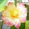 八重の大賀蓮 #鎌倉 #kamakura #花 #flower #ハス #睡蓮