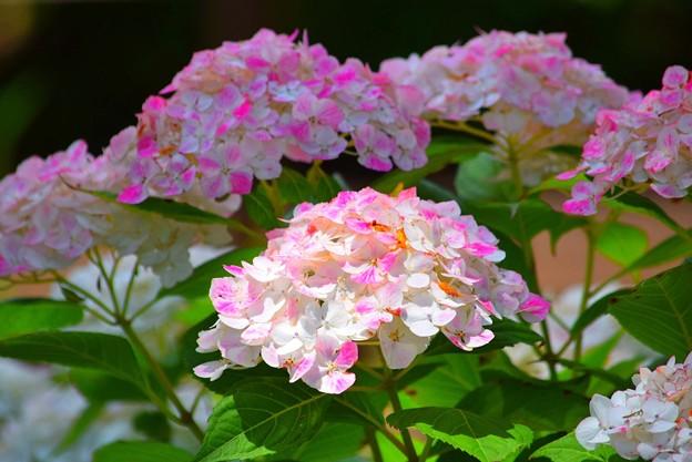 紅手毬 #鎌倉 #kamakura #花 #flower #手毬 #テマリ