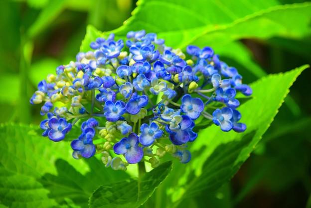 渦紫陽花 #鎌倉 #kamakura #花 #flower #紫陽花 #アジサイ