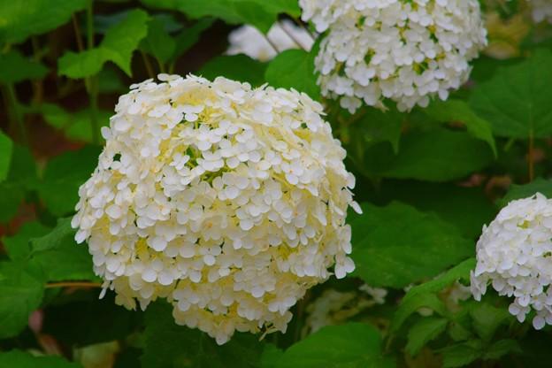 紫陽花・アナベル #鎌倉 #kamakura #花 #flower #紫陽花 #アジサイ #アナベル
