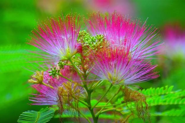 合歓の木の花 #鎌倉 #kamakura #花 #flower