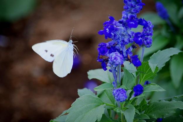舞う紋白蝶 #鎌倉 #kamakura #花 #flower #蝶 #紋白蝶 #butterfly