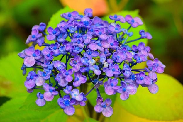 写真: 光則寺の渦紫陽花 #鎌倉 #湘南 #kamakura #temple #寺 #花 #flower #紫陽花