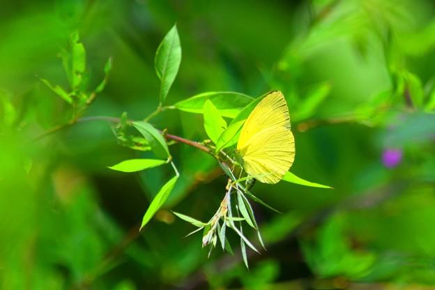 萩の葉に止まる紋黄蝶 #鎌倉 #kamakura #湘南 #寺 #temple #mysky #蝶 #butterfly