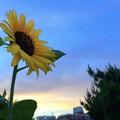 夕闇の湘南・鵠沼海岸の空と向日葵 #湘南 #藤沢 #海 #波 #wave #flower #mysky #花 #sunflower #向日葵