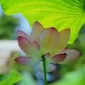 葉の日傘で暑さをしのぐ大賀蓮 #湘南 #鎌倉 #shonan #kamakura #花 #flower #大賀蓮 #lotus #mysky