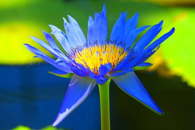 睡蓮 クリント・ブライアント #湘南 #鎌倉 #shonan #kamakura #花 #flower #睡蓮 #waterlily #mysky