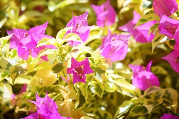 ブーゲンビリア #湘南 #鎌倉 #shonan #kamakura #花 #flower #mysky