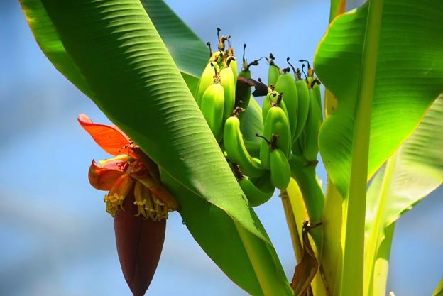 バナナの花と実 #湘南 #鎌倉 #shonan #kamakura #花 #flower #バナナ #mysky