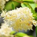 糊空木@東慶寺 #kamakura #鎌倉 #湘南 #寺 #temple #花 #flower