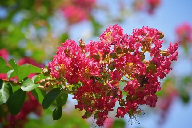 百日紅@東慶寺 #kamakura #鎌倉 #湘南 #寺 #temple #花 #flower