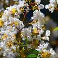 百日紅@光則寺 #湘南 #鎌倉 #kamakura #寺 #temple #mysky #花 #flower