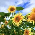 遅咲きの向日葵 #鎌倉 #kamakura #湘南 #mysky #花 #flower