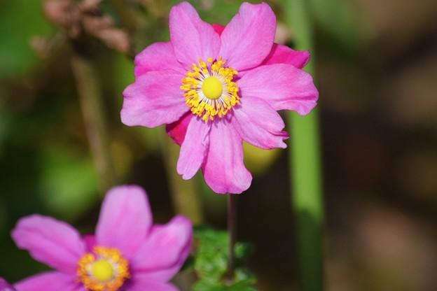 秋明菊@海蔵寺 #湘南 #kamakura #鎌倉 #temple #寺 #mysky #flower #花