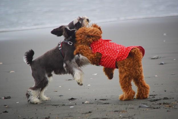 ワンコ相撲@湘南・鵠沼海岸 #湘南 #藤沢 #海 #波 #wave #surfing #mysky #beach #dog #animal #犬